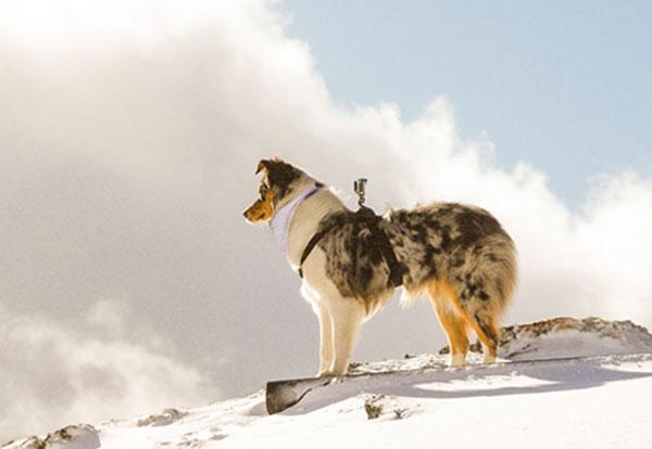 Coronet Peak Dog Derby star