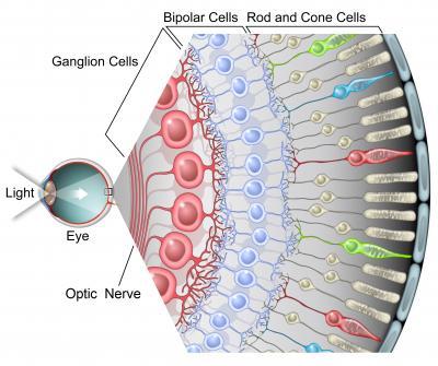 Photoreceptors