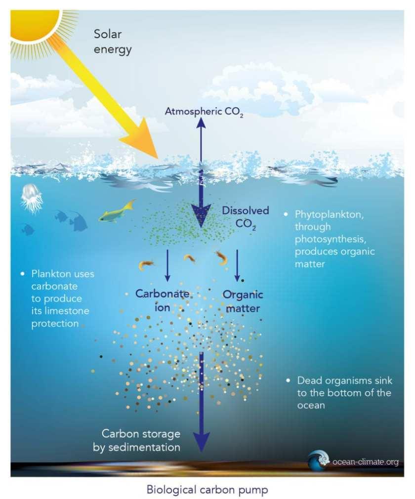 The ocean as a carbon sink