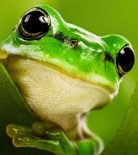 Clipart - Cute Frogs