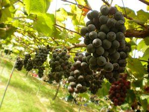 Stock vineyard photo.