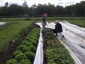 Shannon & Lars cutting braising greens for the market.