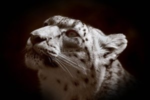 Tracey Kidston, Snow Leopard