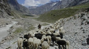 herded sheep in the Himalayas