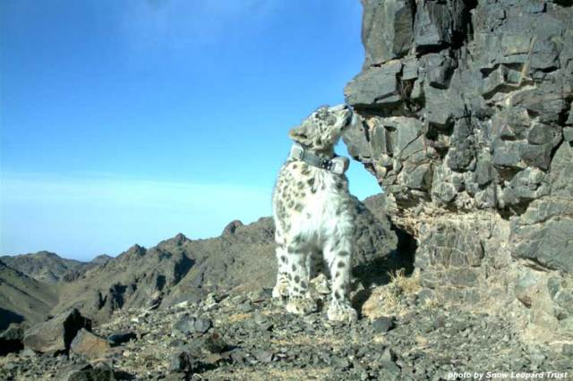 Lasya, one of the female snow leopards we've been tracking