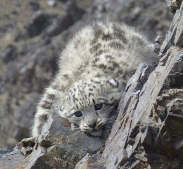 Mongolia's snow leopards are getting a health check