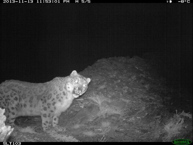 Khasar, the scarred snow leopard, photographed in Noyon last winter