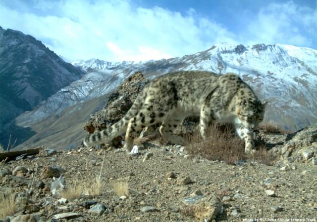 Glaciers are in retreat across the snow leopard's range.