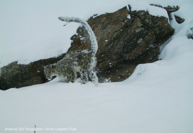 The new wildlife sanctuary has the potential to become an important snow leopard feeding ground