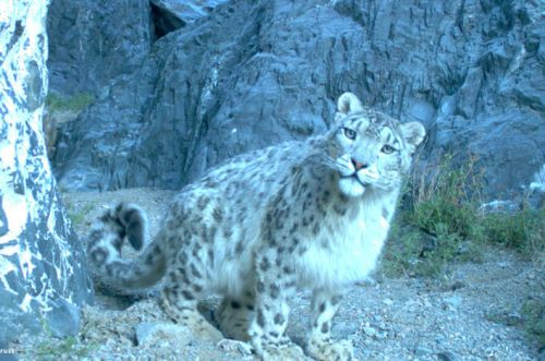 Systematic monitoring of wild snow leopard populations provides insights into conservation status and priorities.