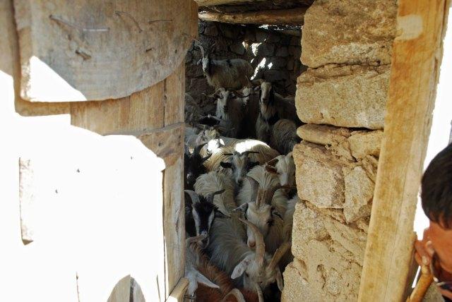 Goats in their new, safe corral in Hemiya. Photo: Matt Fiechter, SLT