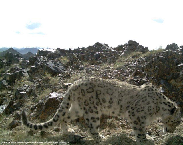 One of Tost's wild snow leopards roaming its home range.
