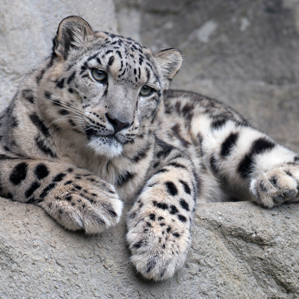Young Snow Leopard, Peter Bolliger