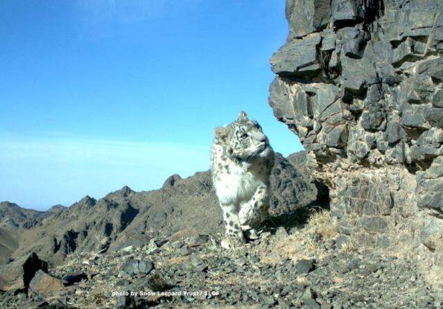 Laysa, a female snow leopard that was tracked with a GPS collar in the long-term study in Tost