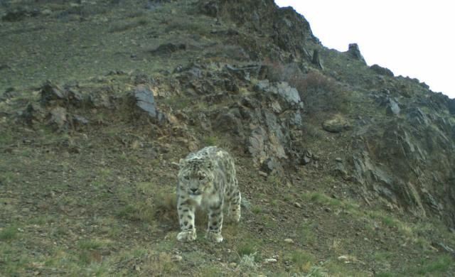 Tsetsen snow leopard walking