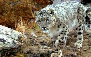 Tajik snow leopard