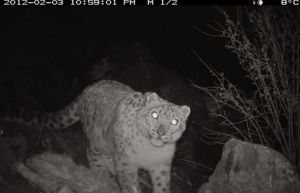 Trap camera snow leopard image