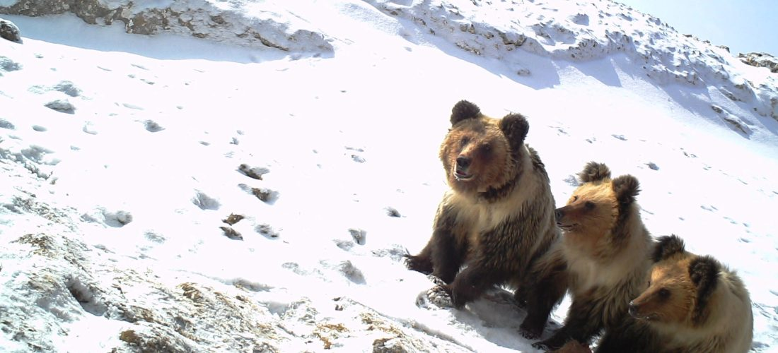 Snow leopard & Tibetan brown bear conservation and research