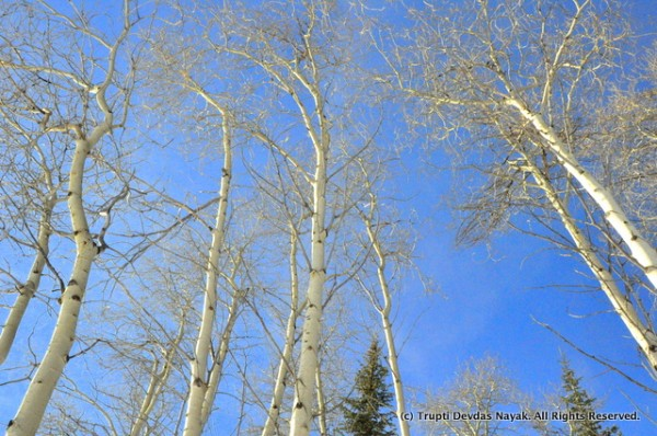 Aspen trees along the snowshoe trail