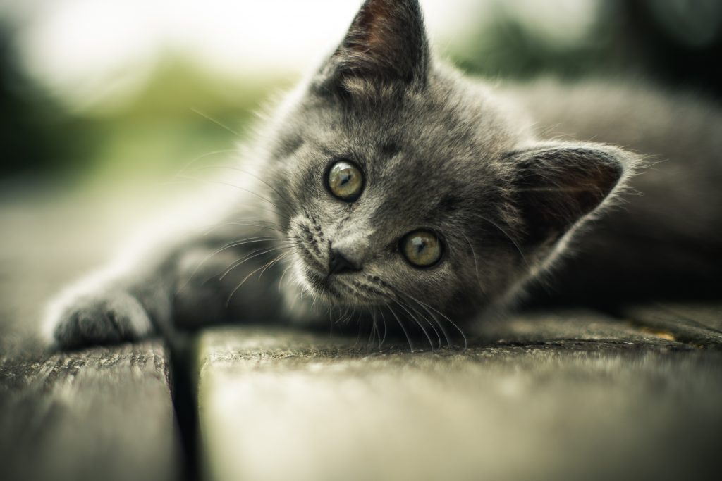 Gray kitten looking at camera lying on wood
