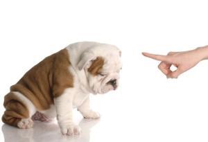 english-bulldog-puppy-shutterstock_43681333