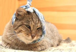injured-cat-shutterstock_21403003