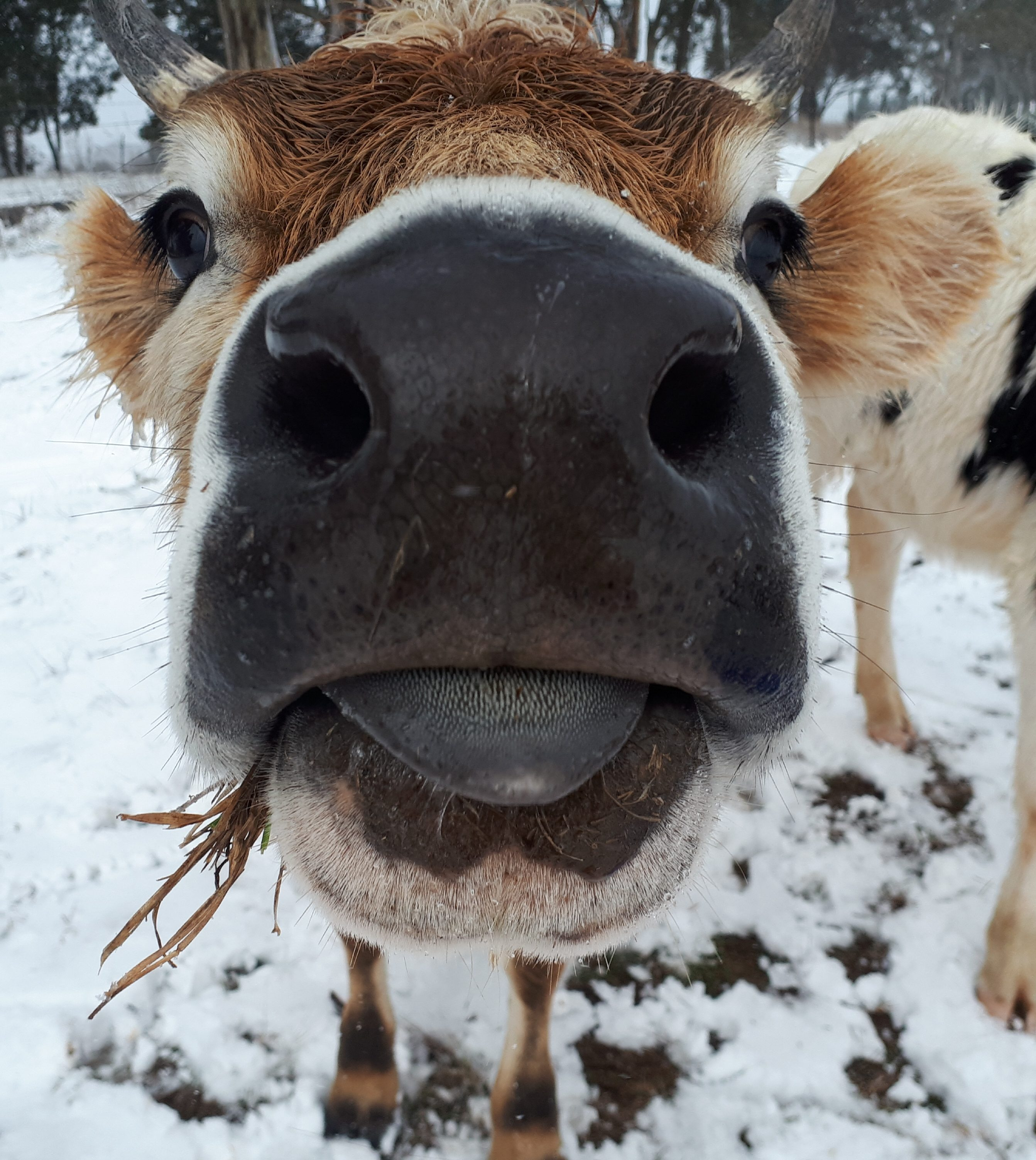 SnugFarm dairy cows