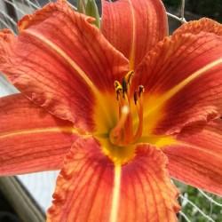 Blüte, orange