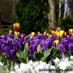 Krokus, Frühling, Blüte