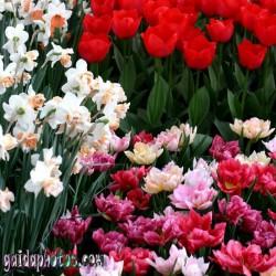 Tulpe, Narzisse, Blüte