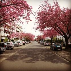 Kirschblüte, Frühling, Blüte, Nibelungenweg, Köln-Rodenkirchen, Köln