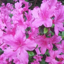 Rhododendron, pink