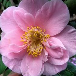 Kamelie, pink, rosa
