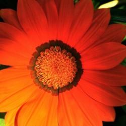 Blüte rot-orange