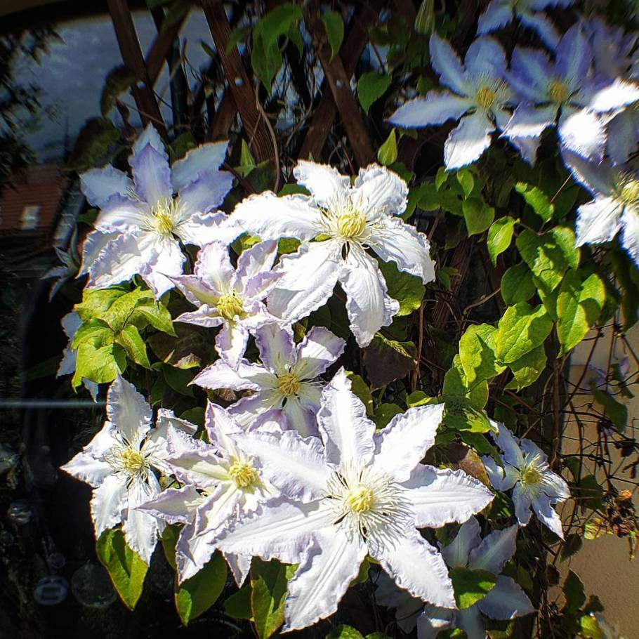 Clematisblüten