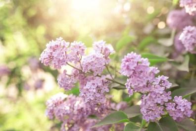 Lilacs - May 2015