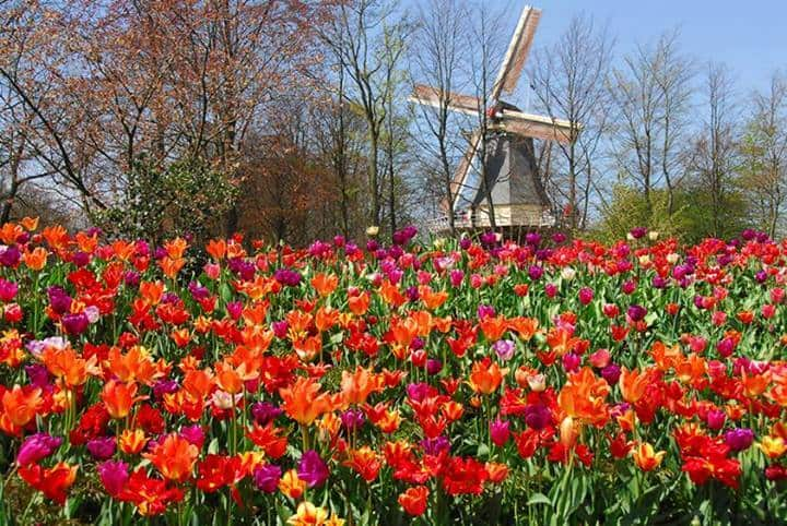 Z Tulips in Holland keukenhof.