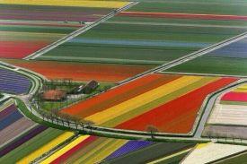 Z tulips