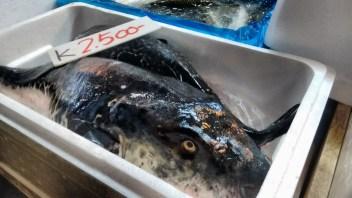 Fugu! Puffer Fish