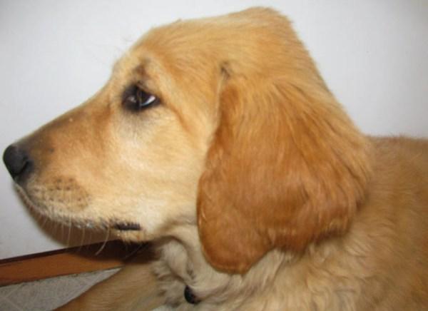 Шишка на голове у собаки причины и что делать Все о собаках