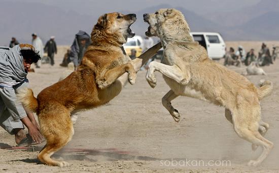 Фото Собака Породы.алабай