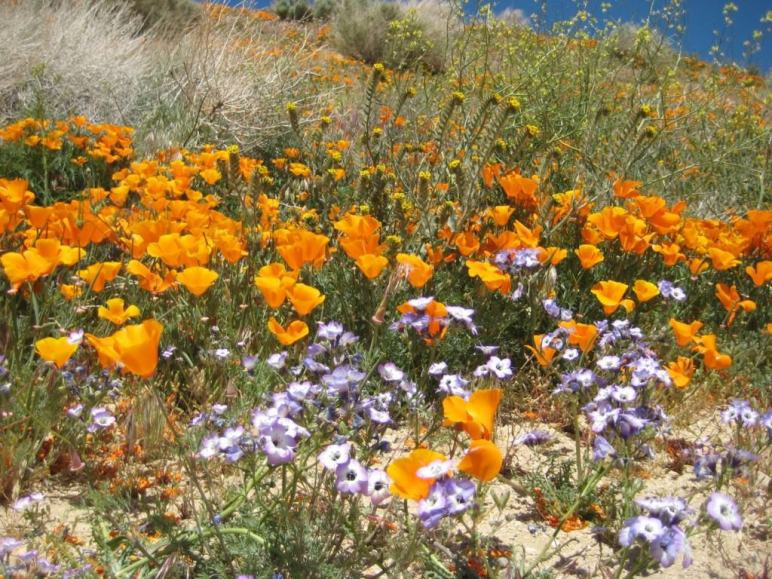 Check out this list of over 20+ places in and around Los Angeles where you can see wildflowers. From the Antelope Valley all the way down to the coastal shores of Malibu, you can view several species of wildflowers including the California Poppy, Giant Coreopsis and Hummingbird Sage.