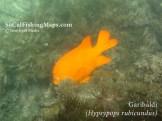 Picture of garibaldi swimming on reef, taken while diving Indian Rock at Catalina Island.