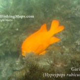 Picture of garibaldi swimming on reef, taken while diving Indian Rock at Catalina Island.