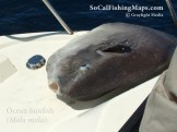 Ocean sunfish or mola lying on deck of fishing boat before release.