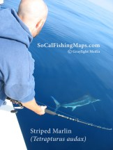 Striped marlin hooked eight miles offshore Del Mar, California.