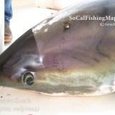 Thresher shark captured offshore La Jolla, California.