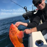 A nice yelloweye rockfish before release out of Depoe Bay, Oregon.