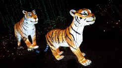 Roaming tigers in the Jungle Garden