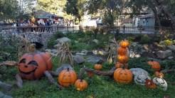 A pumpkin grove